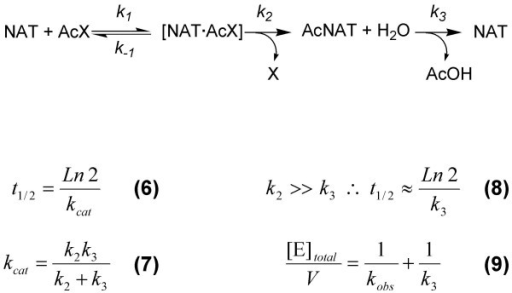 The steady-state formation and hydrolysis of the acetyl-enzyme intermediate. The acetyl donor is denoted AcX, where X is p-nitrophenol or CoA. AcNAT refers to the acetylated enzyme intermediate. For a derivation of equation 9, see [34].