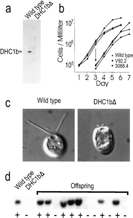 Phenotype of the dhc1b deletion mutant. (a) Identification of the dhc1b deletion mutant. DNA was isolated from >300  Chlamydomonas insertional mutants (Pazour et al., 1995; Koutoulis et al., 1997), cleaved with PstI, and analyzed by Southern  blotting using a 0.3-kbp fragment of a DHC1b cDNA as probe.  The DNA hybridized to a single band in wild-type (Wild type)  and all strains except V92.2 (DHC1bΔ), which had no hybridizing band. (b) Deletion of the DHC1b gene does not affect growth  rate. Growth of wild-type or mutant cells (V92.2 and 3088.4) in  liquid medium was monitored as described previously (Pazour et  al., 1998). On day 3, a second set of cultures was inoculated by diluting cells from the first series to 105 cells/ml (arrow). (c) Flagella are much shorter in the dhc1b deletion mutant (DHC1bΔ)  than in wild-type cells. Cells were recorded by differential interference-contrast microscopy as described in Pazour et al. (1998).  (d) The dhc1b deletion segregates with the flagellar defect.  Strains V92.2 (DHC1bΔ) and CC124 (Wild type) were mated,  tetrads were dissected, and the offspring were scored for motility  by light microscopy. DNA was isolated from a single product of  49 independent tetrads and analyzed by Southern blotting as in  panel a. The results for the parents and 12 progeny are shown. In  all cases, progeny with the motility defect (−) lacked the DHC1b  gene, whereas those with normal motility (+) had the DHC1b  gene.