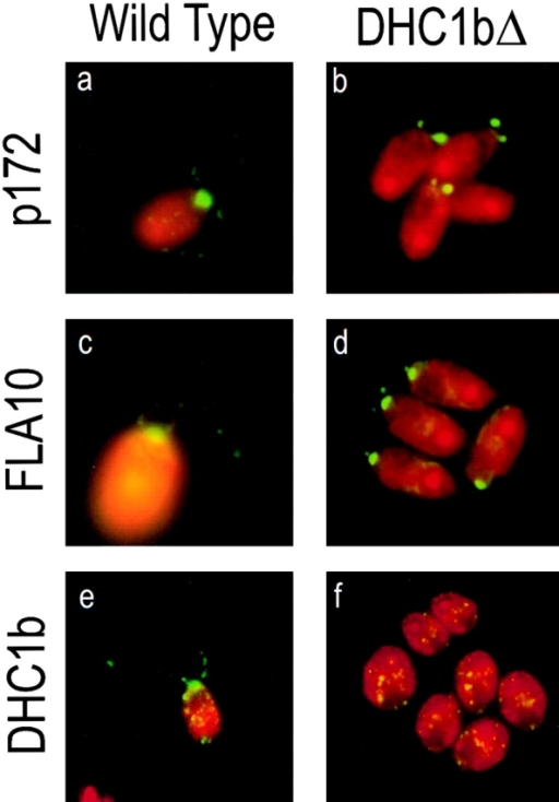 Localization of an IFT raft protein, FLA10, and  DHC1b in wild-type and dhc1b mutant cells by indirect immunofluorescence. The antigens of interest are shown in green  whereas autofluorescence of the cell body is shown in red. Antibody specific for the p172 subunit of the IFT rafts (Cole et al.,  1998) shows that in wild-type cells, the raft proteins are located  primarily in the cell body at the base of the flagella, with some  punctate staining along the length of the flagella (a). In contrast,  in the dhc1b deletion mutant (DHC1bΔ), almost no staining is  seen in the peri-basal body region, but there is a very intense  staining of the flagellar stubs (b). FLA10, a subunit of the anterograde IFT motor, is localized primarily in the peri-basal body region of wild-type cells with some punctate staining along the flagella (c). In the dhc1b deletion mutant (DHC1bΔ), FLA10  staining similarly is observed in the cell body at the base of the  flagella; it is also present in the flagellar stubs (d). In wild-type  cells, DHC1b is localized in the peri-basal body region with some  punctate staining along the flagella (e). The dhc1b deletion mutant (DHC1bΔ), which lacks this antigen, shows only a small  amount of nonspecific punctate staining in the cell body (f). No  flagellar staining is detected.