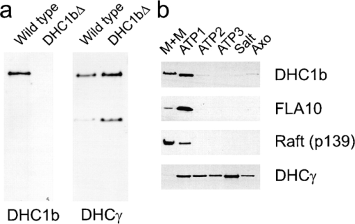 DHC1b is found in the flagella. (a) Whole cell extracts  were made from wild-type and dhc1b (DHC1bΔ) cells and  probed with affinity-purified DHC1b antibodies or the 12γC  mAb to the γ DHC of the outer arm dynein. The DHC1b antibodies detect a single high molecular weight band in wild-type  cells but not in the mutant, whereas the γ DHC antibody detects  a similarly sized band in both samples. 12γC also detects a  smaller unidentified band in both cell types. (b) Flagella were isolated from wild-type cells and separated into the following fractions: detergent-soluble membrane proteins and soluble proteins  of the flagellar matrix (M + M); proteins released from the axoneme by a first, second, or third rinse with ATP (ATP1, ATP2,  and ATP3, respectively); proteins released from the ATP-rinsed  axoneme by 0.6 M KCl (Salt); and the axonemal proteins remaining after treatment with detergent, ATP and KCl (Axo). Gels  were loaded with extracts from equivalent numbers of flagella  and analyzed by Western blotting with antibodies to DHC1b,  FLA10 (FLA10N; Cole et al., 1998), p139 [Raft (p139); Cole et al.,  1998], and DHCγ (12γC; King et al., 1985).
