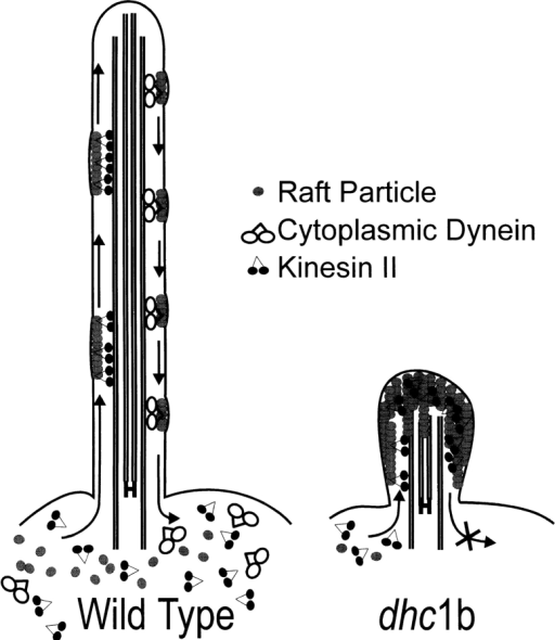 In wild-type cells, IFT components are continuously removed from the peri-basal body pool for IFT, and returned to the  pool (modified from Fig. 13 of Cole et al., 1998). In dhc1b cells,  IFT components are likewise transported from the peri-basal  body pool into the flagella, but they then accumulate there, presumably due to a defect in retrograde IFT. As a result, the peri-basal body pool is depleted.