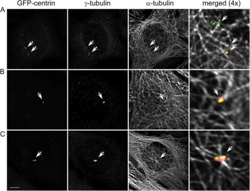 Centrin aggregates are not associated with microtubules during the first cell cycle, but become positioned inside of microtubule foci after they coalesce into a common structure in the second cell cycle. (A) GFP/centrin, γ-tubulin, and α-tubulin distribution in a cell fixed during first cell cycle (∼49 h after centrosome ablation and 24 h after formation of detectable centrin aggregates). Although some of the centrin/GFP aggregates also contain γ-tubulin, none of them is associated with microtubule foci (arrows). (B and C) Two progeny of a cell born without a centrosome that were fixed in the second cell cycle, after the coalescence of the de novo–formed centrioles (∼48 h after centrosome ablation; 20 h after formation of centrin aggregates; and 15 h after second mitosis). In contrast to the centrin aggregates during the first cell cycle (A), de novo–formed centrioles after mitosis reside inside of microtubule foci and are associated with large amount of γ-tubulin (arrows). Bar, 10 μm. Maximal-intensity projections.