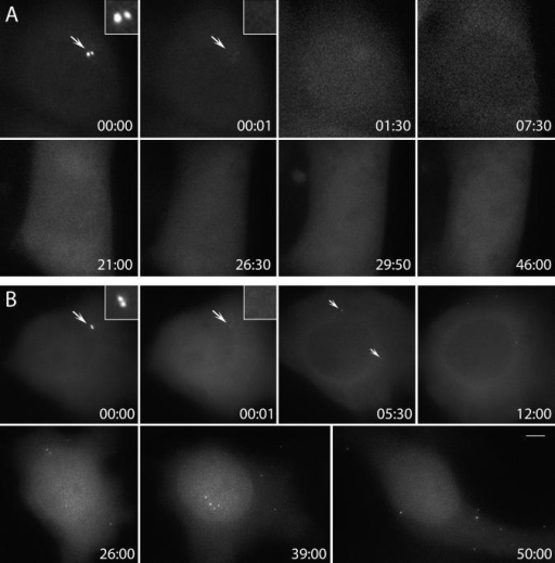 Centriole de novo formation occurs in HeLa cells arrested in S but not in G1. (A) Resident centrosome was ablated (arrows, compare 00:00 and 00:01) in a cell pretreated with 5 μM lovastatin for ∼15 h. Time lapse recording of this cell revealed no formation of centrin/GFP aggregates for 46 h. (B) Similar procedure to A was followed, except this cell was pretreated with 2 mM hydroxyurea. Time lapse recording revealed that ∼5 h after ablation of the resident centrioles centrin/GFP, aggregates formed in the cytoplasm (arrows, 05:30). These aggregates moved continuously in the cytoplasm while their intensity gradually increased (05:30–50:00). Time is shown in hours:minutes. Bar, 5 μm.