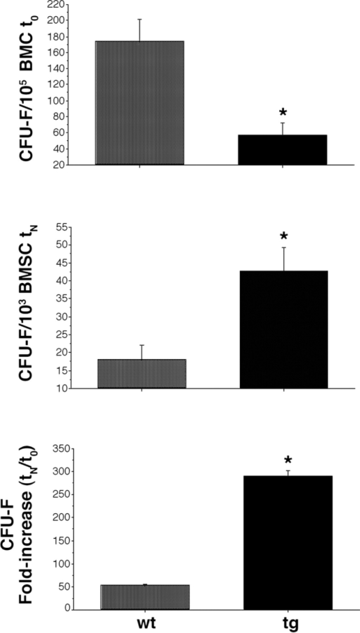 Frequency and expansion capabilities of CFU-F. (top) Frequency of CFU-F at the time of explantation (t0). Results shown as number of colonies per 105 nucleated bone marrow cells (mean of triplicate determinations per mouse). The tg marrow is reduced in CFU-F, relative to the wt marrow (analysis of variance [ANOVA], Scheffe's F test 309.16* [significant at 95%], P < 0.0001). (middle) Frequency of CFU-F at the end of ex vivo expansion (day 17, tN). Results shown as number of colonies per 103 stromal cells (mean of triplicate determinations per two cell strains per genotype). Strains of tg mice are enriched in total CFU-F, relative to strains of wt mice (ANOVA, Scheffe's F test 94.03* [significant at 95%], P < 0.0002). (bottom) Fold increase in CFU-F over the culture period was calculated as the ratio of the total number of CFU-Fs at the end of the culture period to the total number of CFU-Fs in the marrow explants. Results based on triplicate determinations in duplicate experiments (ANOVA, Scheffe's F test 124.52* [significant at 95%], P = 0.02). (top, middle, and bottom) Error bars indicate SD of the mean.