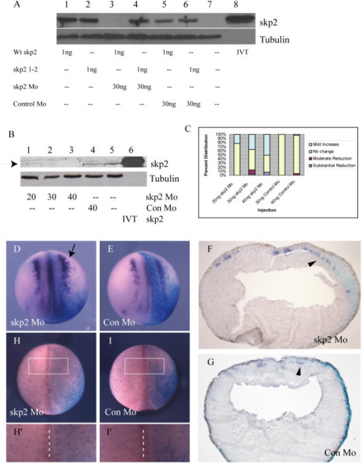 Loss of skp2 protein promotes primary neurogenesis. (a) Embryos were injected with wild-type (Wt) skp2, skp2 1–2 alone or in combination with skp2 Mo or Con Mo as indicated. Protein (30 μg) from a stage 15 embryo was western blotted to determine skp2 levels; tubulin was used as a loading control. (b) Western blot for endogenous skp2 protein levels on stage 15 embryos that were injected with 20 ng, 30 ng, or 40 ng skp2 Mo or 40 ng Con Mo at the one cell stage, arrow to skp2 protein band. In vitro translated (IVT) skp2 protein is run in lane 6, and alpha-tubulin was used as a loading control. (c) The percentages of embryos with mild increase, no change, or moderate or substantial reduction of nßt positive cells on the injected side relative to the uninjected side for 20 ng, 30 ng, and 40 ng skp2 Mo, or 30 ng and 40 ng Con Mo (see Additional file 1 for photographs of representative embryos). (d,e) Embryos were injected with 30 ng skp2 Mo (d) or 30 ng Con Mo (e) in one blastomere at the two cell stage, along with ßgal mRNA as a lineage tracer, and analyzed for nßt mRNA expression at stage 15 ((d) arrow to show expansion of primary neurons). The view is dorsal with injected side to the right. (f,g) In situ hybridisation sections, which are transverse across the centre of the embryo, with injected side to the right (f) Section of an early neurula embryo injected with 30 ng skp2 Mo, indicating nßt upregulation by skp2 protein depletion. (g) Section of a mid neurula embryo injected with 30 ng Con Mo showing no difference in nßt distribution. Arrows (f, g) denoting staining of nßt in primary neurons. (h,i) Whole mount stage 15 embryos immunostained (red) to detect pH3 after injection of 30 ng skp2 Mo (h) or 30 ng Con Mo (i) in one blastomere at the two cell stage. ßgal mRNA was co-injected and X-Gal staining (blue) was performed to reveal injected side. Dorsal views with injected side to the right. (h',i') Detail of pH3 cells on the injected side relative to the uninjected side of representative embryos (boxed area in (h,i), dashed line is dorsal mid-line separating injected and uninjected halves).