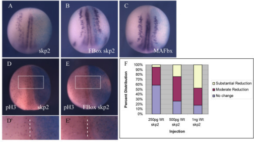 Over-expression of skp2 blocks primary neurogenesis and reduces cell proliferation. (a-e) Embryos were injected with 1 ng wild-type (Wt) skp2 (a,d), 1 ng FBox skp2 (b,e), or 1 ng Wt MAFbx (c) mRNA, along with ßgal mRNA as a lineage tracer, in one blastomere at the two cell stage. Embryos were analyzed for expression of nßt mRNA (a-c) at stage 15. Dorsal views with injected side to the right. (d,e) Whole mount stage 15 embryos immunostained (red) to detect pH3 after injection of 1 ng Wt skp2 (d), or 1 ng FBox skp2 (e) mRNA, along with ßgal mRNA as a lineage tracer, in one blastomere at the two cell stage. Dorsal views with injected side to the right. (d',e') Detail of pH3-positive cells on the injected side relative to the uninjected side (boxed area in (d,e), dashed line is dorsal mid-line separating injected and uninjected halves). (f) Embryos were injected with 250 pg, 500 pg or 1 ng Wt skp2 mRNA (n = 41, 83, 87 embryos, respectively) in one blastomere at the two cell stage. Embryos were analyzed for expression of nßt mRNA at stage 15. Data shown in (f) are the percentages of embryos with no change, or moderate or substantial reduction of nßt positive cells on the injected side relative to the uninjected side for each injection (see Additional file 1 for photographs of representative embryos).