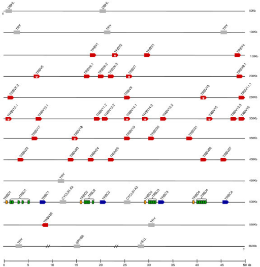 Map of the opossum TRB locus. TRBV (red), TRBD (orange), TRBJ (green) and TRBC (blue) are indicated. Transcriptional orientation, pseudogenes, and syntenic genes discussed in the text are indicated as in Figure 1.