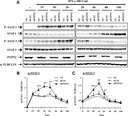 PTPN2 inhibition increases IFN-γ–induced STAT1 and STAT3 phosphorylation. INS-1E cells were left untransfected (NT) or transfected with 30 nmol/l of either a control siRNA (siCtrl) or with a pool of siRNAs targeting PTPN2 (siPTPN2). After 2 days of recovery, cells were left untreated or treated with IFN-γ (100 units/ml) for 15 min, 30 min, 1 h, 2 h, 4 h, 8 h, and 24 h. A: phospho-STAT1, total STAT1, phospho-STAT3, total STAT3, PTPN2, and α-tubulin proteins were evaluated by Western blot. These results are representative of five independent experiments. B and C: Mean optical density measurements of phospho-STAT1 (B) and phospho-STAT3 (C) Western blots corrected for protein loading by α-tubulin. Results are means ± SE of five independent experiments; **P < 0.01 and ***P < 0.001 vs. NT and siCtrl at the same time point, ANOVA followed by Student's t test with Bonferroni correction.