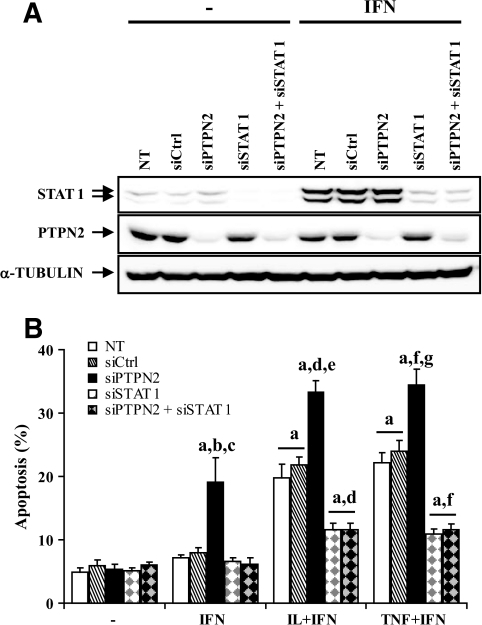 Double knockdown of PTPN2 and STAT1 protects INS-1E cells from cytokine-induced apoptosis. INS-1E cells were left untransfected (NT) or were transfected with 60 nmol/l of a control siRNA (siCtrl), or with 30 nmol/l of either a pool of siRNAs targeting PTPN2 (siPTPN2), or a siRNA targeting STAT1 (siSTAT1), or double transfected with 30 nmol/l of both siPTPN2 and siSTAT1. After 2 days of recovery, cells were left untreated, or treated for 24 h with IFN-γ (100 units/ml), IL-1β (10 units/ml) + IFN-γ (100 units/ml), or TNF-α (1,000 units/ml) + IFN-γ (100 units/ml) as indicated. A: Expression of STAT1, PTPN2, and α-tubulin proteins were evaluated by Western blot. The results are representative of three independent experiments. B: Apoptosis was evaluated using HO/PI staining. Results are means ± SE of four independent experiments; a: P < 0.001 vs. untreated NT or untreated transfected with the same siRNA; b: P < 0.001 vs. IFN-γ–treated NT and siCtrl; c: P < 0.001 vs. IFN-γ–treated siSTAT1 and siPTPN2 + siSTAT1; d: P < 0.001 vs. IL-1β + INF-γ–treated NT and siCtrl; e: P < 0.001 vs. IL-1β + INF-γ–treated siSTAT1 and siPTPN2 + siSTAT1; f: P < 0.001 vs. TNF-α + INF-γ–treated NT and siCtrl; g: P < 0.001 vs. TNF-α + INF-γ–treated siSTAT1 and siPTPN2 + siSTAT1; ANOVA followed by Student's t test with Bonferroni correction.