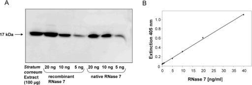 Generation of RNase 7 specific antibodies and ELISA.(A) A goat was immunized with a combination of natural and recombinant RNase 7, and serum was purified with an RNase 7 affinity column. The specificity of the RNase 7 affinity-purified polyclonal antibodies was verified by Western-Blot analysis. 100 µg of stratum corneum extract and different amounts of natural skin-derived RNase 7 and recombinant RNase 7 were subjected to Western-Blot analysis using the affinity-purified polyclonal antibodies raised against RNase 7. (B) The RNase 7 antibodies were used to establish an ELISA as described in the experimental procedures. A representative standard curve of the RNase 7 ELISA is shown. The detection limit of the ELISA was a concentration of 0.3 ng⋅ml−1 RNase 7.