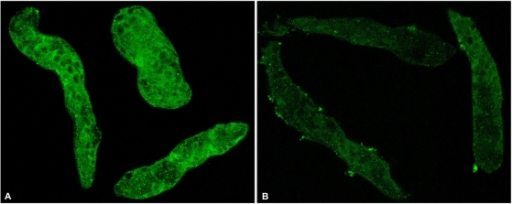 Observations of differential expression of EF1α protein levels in S. mansoni sporocysts after dsRNA treatments.Immunfluorescence photomicrographs of GFP dsRNA (control; A) and EF1α dsRNA (B) treated sporocysts showing EF1α protein-knockdown post RNAi treatments. Larvae were cultured with dsRNAs for 7 days and fixed prior to treatment with anti-EF1α antibody and Alexa 488-conjugated secondary antibody. Strong immunoreactivity (green fluorescence) is distributed among various cells and tissues within interior of control sporocysts (A), compared to only weak reactivity in EF1α dsRNA-treated sporocysts (B). Confocal images; 400×. N = 2.