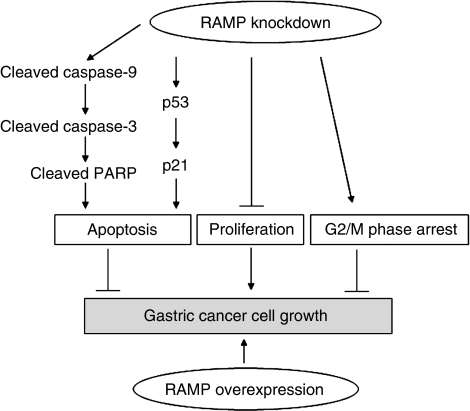 Schematic diagram for the mechanisms of RAMP function in gastric cancer cells. Knockdown of RAMP inhibited gastric cancer cells growth, which was associated with several biological effects: (1) increasing the expression of cleaved caspase-9, caspase-3 and PARP, which in turn induced apoptosis; (2) inducing apoptosis caused by knockdown of RAMP was dependent on p53 and p21 pathways; (3) suppressing cell proliferation; (4) causing cell arrest in G2/M phase. On the other hand, overexpression of RAMP promoted growth capacity. Thus, RAMP may function as a novel oncogene in gastric cancer.