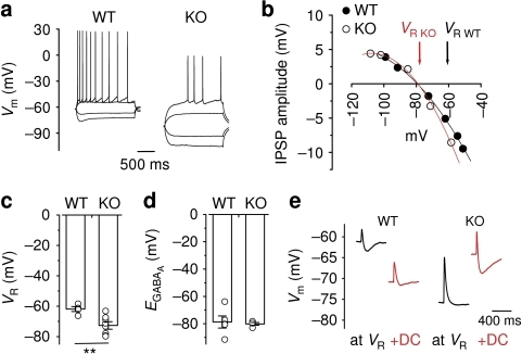 HCN1 deletion results in the loss of the hyperpolarizing effects of GABAA receptor-mediated inhibition.(a) Example traces showing voltage responses to current steps injections in wild-type (WT) mice and HCN1 knockout (KO) mice. (b) An example plot showing that, unlike WT mice, HCN1 KO mice lacked a hyperpolarizing GABAA receptor-mediated driving force. Data points were fitted with a second-order polynomial function. (c) Comparison of VR in HCN1 KO mice and WT mice (WT: n=5; KO: n=8). (d) Summary plot of EGABA(A) in both genotypes (WT: n=5; KO: n=4). (e) Sample traces showing that the KO mice displayed no hyperpolarizing phase at VR, whereas WT animals had a biphasic EPSP–IPSP sequence. The hyperpolarizing IPSPs became apparent in the KO mice when cells were depolarized by DC injection. Conversely, the IPSP was less evident when pyramidal cells from WT mice were hyperpolarized. Error bars represent s.e.m.; **P<0.01.