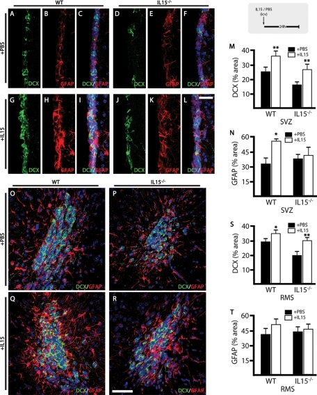 Intraventricular IL-15 increases the pool of neuroblasts and rescues IL-15−/− phenotype. Analysis of the effect of IL-15 on neurogenesis in WT and IL-15−/− mice (see experimental scheme at top right corner). (A–L) Double immunofluorescence for DCX (green) and GFAP (red) in the SVZ of WT (A–C, G–I) and IL-15−/− (D–F, J–L) mice after treatment with ICV PBS (A–F) or IL-15 (1 μg/5 μl; G–L). (M, N) Quantification of the effect of the ICV injection of PBS (black bars) or IL-15 (white bars) on the expression of DCX (M) and GFAP (N) in the SVZ of WT or IL-15–/– mice, as mean ± SEM of percent positive area. (O–R) Double immunofluorescence for DCX (green) and GFAP (red) in the RMS of WT (O, Q) and IL-15−/− (P, R) mice after treatment with ICV PBS (O, P) or IL-15 (1 μg/5 μl; Q, R). (S, T) Quantification of the effect of the ICV injection of PBS (black bars) or IL-15 (white bars) on the expression of DCX (M) and GFAP (N) in the RMS of WT or IL-15−/− mice as mean ± SEM of percent positive area. Nuclei are stained with Hoechst (blue). Fluorescent sections are evaluated with confocal microscopy. Scale bar in A–L, 20 μm (shown in L); in O–R, 50 μm (shown in R). Statistical differences of PBS vs. IL-15: *p < 0.05, **p < 0.01. Data were analyzed with an ANOVA and a post hoc Tukey test.