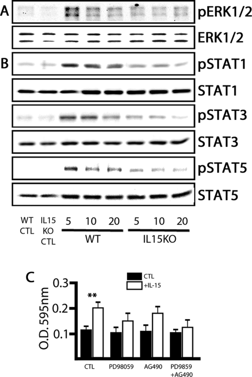 IL-15 regulates the activation of the ERK and JAK/STAT signaling pathways. (A) Western blotting analysis of the activation of the ERK MAPK pathway. The activation of ERK1 and ERK2 is represented by the phosphorylation degree (up; pERK1/2) in relation to the total protein (down; ERK1/2). (B) Western blotting analysis of the activation of the JAK/STAT pathway. The activation of STAT1, STAT3, and STAT5 is represented by the phosphorylation degree (pSTAT1, pSTAT3, pSTAT5) in relation to the total protein (STAT1, STAT3, STAT5). WT and IL-15 KO neurospheres were treated with complete medium for 5, 10, and 20 min, using cells treated with incomplete medium as controls (WT CTL, IL-15 KO CTL). (C) Effect of the inhibition of IL-15 signaling on the proliferation of neurospheres was evaluated by the MTT assay. In the control conditions, cells were cultured in incomplete medium (CTL) or incomplete medium supplemented with IL-15 (5 ng/ml) for 72 h. Alternatively, cells were treated with PD98059, AG-490, or the combination. Data are expressed as mean ± SEM of OD 595 nm. Statistical differences of CTL vs. IL-15: **p < 0.01. Data were analyzed with an ANOVA and a post hoc Tukey test.