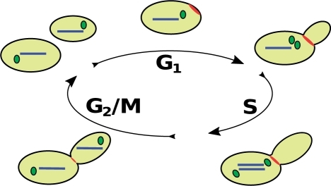 Early in the cell cycle, a budding yeast mother cell undergoes a period of growth (G1). Just prior to the time of transition from G1 to the period of DNA replication (S phase), the myosin ring appears at the site of bud formation (red structure); the bud becomes visible shortly thereafter. Around the same time, the spindle pole body (SPB; green structure) duplicates. Now in S phase, the mother cell replicates its genome (blue bars) within the nucleus (nucleus not shown). Concurrently, the two SPBs start to separate from one another, forming a short mitotic spindle. In G2/M phase, the two SPBs separate further, forming a long mitotic spindle and pulling the nuclei containing replicated chromosomes into the mother and daughter cells, respectively. Following mitosis, the cell undergoes cytokinesis in which the myosin ring constricts to separate the two cytoplasms and then breaks down. Enzymatic processes must synthesize mother and daughter cell walls before the two cells can separate.