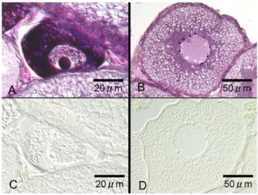 Immunohistochemical localization of AQP1b in Japanese eel perinucleolus and oil droplet stage oocytes. Two successive sections of the Japanese eel oocytes at the perinucleolus stage (A, C) and at the oil droplet stage (B, D) stained with hematoxylin and eosin (A, B) and stained with immunocytochemically with anti-eel AQP1b (C, D). AQP1b immunoreaction was not detected in the oocytes at these stages.