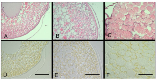 Immunohistochemical localization of AQP1b in Japanese eel tertiary yolk globule, migratory nucleus, and mature stage. Two successive sections of the Japanese eel oocytes at the tertiary yolk globule stage (A, D), the migratory nucleus stage (B, E), and the mature stage (C, F) stained with hematoxylin and eosin (A, B, C) and immunocytochemically stained with anti-eel AQP1b (D, E, F). Faint but clear immunoreaction was detected around the yolk globules (D) and the large yolk mass (E, F). Bars indicate 50 μm.
