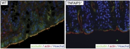TNFAIP3 supports occludin localization at intestinal tight junctions.Immunohistochemistry for occludin (green), actin (red) and DNA (blue) is shown in intestines of untreated wild type (WT) and TNFAIP3−/− mice. A lack of typical perijunctional occludin localization can be observed at the apical surface of epithelial cells in the TNFAIP3 deficient mice.