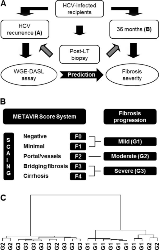 Molecular characterization of HCV recurrence samples at diagnosis time for disease severity progression prediction. A. Schematic illustration of a retrospective analysis using prospectively collected FFPE liver biopsy samples at HCV recurrence diagnosis (A) and 3-years of follow-up (B) as time-point for classification. B. METAVIR score criteria used for the classification of FFPE liver biopsy samples. Liver biopsy samples at HCV recurrence diagnosis time were classified in three groups (G1, G2, and G3) depending on the fibrosis severity of paired 3-years follow-up biopsy samples. C. Dendrogram illustrating a supervised agglomerative hierarchical clustering with 50 differentially expressed beads identified between G1 vs. G3 using DASL assay.