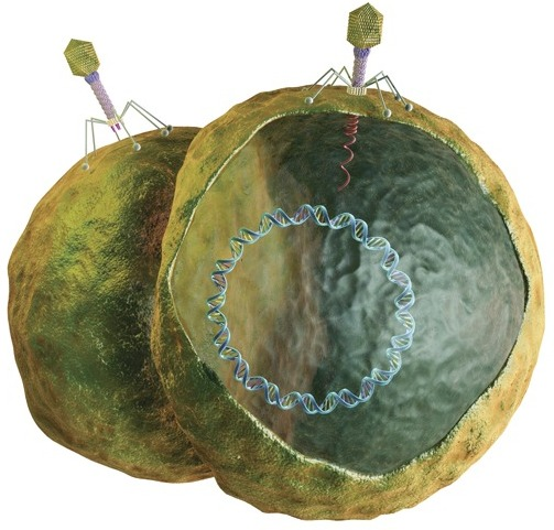 "How Phages WorkAll known bacteria are thwarted by phages, which are extremely specific and only attack the strain of bacteria they evolved to inhabit and kill (mammalian and plant cells lack the receptors required for phage infection, so phages are harmless against them). Phages first attach to and puncture the bacterial membrane. Phage DNA is injected into the host cell. The host cell's DNA transcription is suppressed, and phage-specific proteins are synthesized instead. New phages are assembled, the host cell membrane is disrupted, and large numbers of new phages are released from the host bacterium, which dies.22An estimated 1030–1032 phages exist in the biosphere,22 and an estimated 1023 phage infections occur per second.24 Every 48 hours, phages destroy about half the bacteria in the world,25,26 a dynamic process that occurs in all ecosystems.14,24Phages have infected bacteria for billions of years, and just as bacteria mutate to resist drugs, they also mutate to render phages ineffective. However, new phages continually evolve against the mutated bacteria.27 ""It's an evolutionary arms race,"" says Daniel Nelson of the University of Maryland's Institute for Bioscience and Biotechnology Research. Because phages cannot reproduce on their own, they must infect bacteria, which, in turn, spend massive amounts of energy trying to avoid death by phage.However, phages are not totally bad and even offer bacteria a fitness advantage by transferring genes for antibiotic resistance and toxins to bacteria. To acquire desirable traits while avoiding death, bacteria use restriction modification systems to cut out deleterious phage DNA and keep beneficial phage DNA.27 ""Nonetheless, phages adapt and evolve more rapidly than bacteria, so the cat-and-mouse game continues as both sides try to out-evolve each other,"" says Nelson.© Medi-Mation Ltd/Science Source"