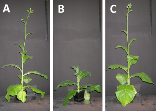 Phenotype of transgenic tobacco plants. Strains shown are wild-type N. tabacum SR1 (A). and transgenic tobacco strains with constitutive TrCel5A expression 35::TrCel5A (B). and inducible TrCel5A expression alcR::TrCel5A (C). Plants were grown under photoautotrophic conditions in soil. Images shown are representative of three plants per genetic line.