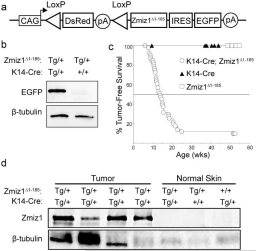 Zmiz1Δ1-185 transgenic mice develop skin tumors(a) Diagram of the Cre-inducible Zmiz1Δ1-185 transgene. (b) Western blot showing skin from Zmiz1Δ1-185 single transgenic mice has nearly undetectable expression of EGFP, whereas double transgenic mice display detectable EGFP expression. (c) Kaplan-Meier survival curve of mouse line 207 showing tumor-free survival of K14-CreTg/+; Zmiz1Δ1-185 Tg/+ double transgenic mice (circles, n=54), K14-Cre+/+; Zmiz1Δ1-185 Tg/+ single transgenic (squares, n=18), and K14-CreTg/+; Zmiz1Δ1-185 +/+ single transgenic mice (triangles, n=35). Double transgenic mice developed skin tumors with an average latency of 14 weeks after birth, while single transgenic controls did not develop skin tumors (log-rank, P<0.0001). (d) Western blot confirms overexpression of the Zmiz1Δ1-185 transgenic protein in mouse tumors. Endogenous Zmiz1 expression is undetectable in normal skin.