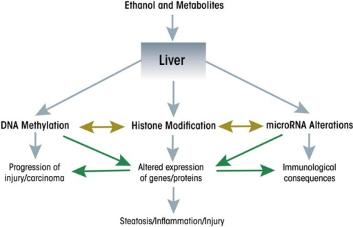 Ethanol and its metabolites modify epigenetic pathways in the liver.
