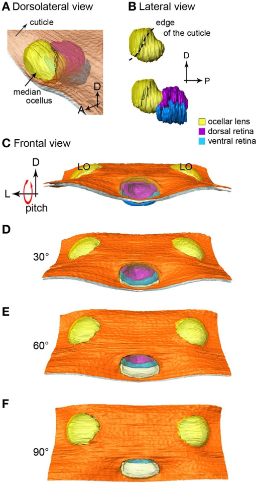 The 3-D reconstruction of the honeybee median ocellus. (A) Dorso-lateral view of the median ocellus with the cuticle in view. (B) Lateral views of the median ocellar lens (l, shown in yellow) and dorsal and ventral retinas. The lens of the median ocellus is elongated downward, the retinas are positioned downwards and posteriorly in relation to the lens. (C–F) Simulation of a pitching movement of the model. (C) A frontal view of the median ocellus: only the dorsal retina can be seen through the median ocellar lens (the ventral retina is under the cuticle). (F) A dorsal view of the ocelli: only the ventral retina can be seen. Abbreviations: D, dorsal; L, lateral; LO, lateral ocellus; P, posterior.