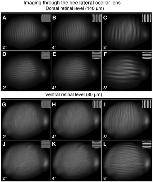 Images of gratings through the honeybee lateral ocellus at the dorsal retinal level (A–F; 140 μm away from the back of the lens) and ventral retinal level (G–L; 80 μm away from the back of the lens). Spatial wavelength: ADGJ: 2°; BEHK: 4°; CFIL: 8°.