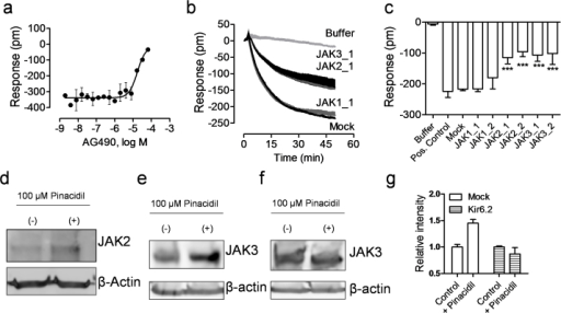 JAK2 and JAK3 were involved in the KATP signaling in C3A cells.(a) The DMR amplitudes of 40 μM pinacidil at 50 min post stimulation as a function of AG490 dose. The cells were treated with AG490 for 1 hr, followed by pinacidil stimulation. (b) The real-time DMR of 40 μM pinacidil in C3A cells with mock transfection (mock) or JAK siRNA. The buffer DMR was included as a negative control. (c) The pinacidil DMR amplitudes at 50 min post stimulation as a function of treatment. (d) Western blot using anti-JAK2 for cell lysate without (−) and with (+) 100 μM pinacidil treatment. (e) Western blot using anti-JAK3 for the lysate of mock transfected cells without (−) and with (+) 100 μM pinacidil treatment. (f) Western blot using anti-JAK3 for the lysate of the Kir6.2 siRNA treated cells without (−) and with (+) 100 μM pinacidil treatment. (g) The relative intensity of JAK3 protein in the mock transfected or the Kir6.2 siRNA treated cells without (Control) and with 100 μM pinacidil treatment (+Pinacidil). Data represents mean ± s.d. (n = 6 for a–c; n = 3 for g).