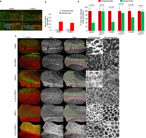 Neuroepithelial cells of flotillin-1 and ephrinB2 morphants fail to apically constrict in the presumptive neural tube(a) Apical constriction defects of ephrinB2 and flotillin-1 morphants. B2MO or F1bMO were injected into one side of the embryos along with GFP RNA as a tracer. At the neurula stage, embryos were stained with anti-tubulin (green) antibody to outline the cells and with anti-GFP (red) antibody to label the injected side. Cell shapes are outlined below. Blue; uninjected cells, red; MO injected cells. Scale bar represents 50 µm. (b) The average ratios of the apical surfaces to the perimeters among five different cells on each side of the midline were calculated for five different embryos. Blue bars; uninjected side, red bars; MO injected side. (c) Decreased actin intensity in ephrinB2 or flotillin-1 morphants. Each embryo was injected with the indicated MO and GFP RNA with or without the appropriate rescue RNA as indicated. GFP (green) shows the injected side, and actin is stained red (phalloidin staining). In the third column, the neuroepithelum is outlined in green on the MO-injected side and red on the uninjected side. Red boxed regions from embryos in the second column are presented as enlarged images in the fourth and fifth columns. Horizontal scale bar represents 300 µm and vertical scale bar 50 µm. (d) Total actin intensity is decreased in ephrinB2 or flotillin-1 morphants. Percent total actin intensities were calculated for the uninjected or injected side of the embryo using the methodology described in the Methods section. A two-tailed t-test was used to generate the P value. These results represent three independent experiments. Error bars represent s.d.
