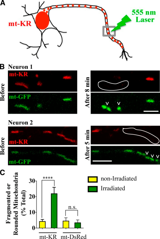 Activation of mt-KR in neuronal axons. (A) mt-KR was expressed in hippocampal neurons and activated locally with a 555-nm laser. (B) Two axons expressing mt-KR and mt-GFP before and after irradiation and concomitant photobleaching of mt-KR in the outlined regions. Mitochondria became rounded and fragmented (arrowheads), and their GFP fluorescence intensity increased. Image acquisition settings were kept constant before and after KillerRed activation. (C) Morphological changes in mitochondria expressing mt-KR or mt-DsRed were quantified. n = 88–109 irradiated and n = 293–448 nonirradiated mitochondria from 12–15 transfections. ****, P < 0.0001. Error bars represent means ± SEM. Bars, 5 µm.