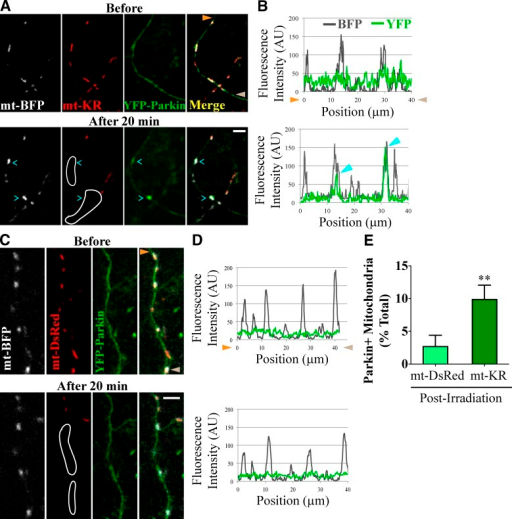 Parkin is recruited to axonal mitochondria damaged with mt-KR. (A) YFP-Parkin accumulates on a fraction of axonal mitochondria in the outlined area of mt-KR activation. (B) Line scan of the axon in A with cyan arrowheads marking two YFP-Parkin–positive mitochondria. (C and D) YFP-Parkin remained diffuse despite irradiation in the outlined area when mt-DsRed replaced mt-KR. Mitochondria with YFP-Parkin levels more than twice the background were scored as Parkin-positive here and in subsequent figures. Orange and brown arrowheads denote corresponding points in images and line scans. (E) Frequency of YFP-Parkin recruitment to irradiated mitochondria. n = 131–140 mitochondria from 12 transfections. **, P < 0.001. Error bars represent means ± SEM. AU, arbitrary unit. Bars, 5 µm.