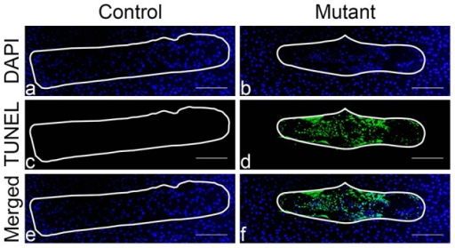 Massive cell death in the mutant NP at birth.Tunel assay of NP at birth in control (Foxa2iCre;HIF-1αf/+) (a,c,e) and mutant (Foxa2iCre;HIF-1αf/f) (b,d,f) mice, respectively. DAPI (a,b), TUNEL (c,d) and merged (e, f) microphotographs are presented. Bar = 200 µm.