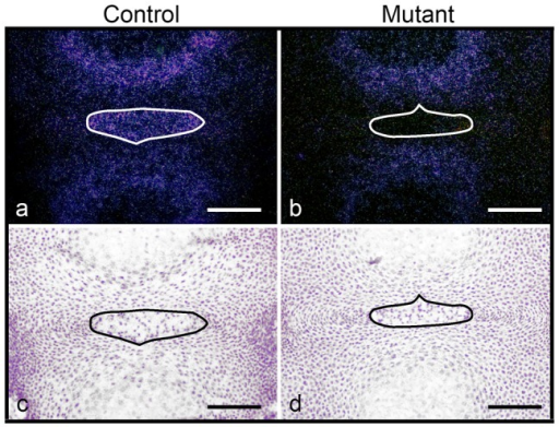 Metabolic changes in the mutant NP.In situ hybridization for PGK mRNA in the NP of control (HIF-1αf/f) (a,c) and mutant (Foxa2iCre;HIF-1αf/f) (b,d) mice at E15.5. Darkfield (a,b) and brightfield (c,d) pictures are shown. Bar = 50 µm.