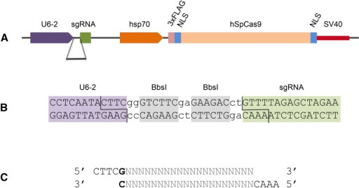 A bicistronic Drosophila CRISPR/Cas9 vector. (A) Schematic map of pDCC6, with the sgRNA cassette under the control of the Drosophila U6:96Ab (U6-2) promoter as well as an hsp70Bb promoter driving Cas9 expression. (B) gRNA sequences are inserted between the U6 promoter and the sgRNA scaffold via two BbsI sites. (C) gRNAs are cloned as complementary oligonucleotide pairs with suitable overhangs and an additional G (bold, required for RNA PolIII transcription) preceding the target-specific 20 nt protospacer (gray).