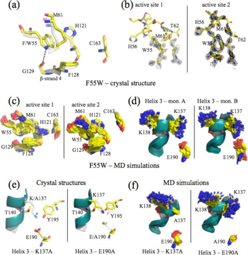 Structures and MD simulationsof steric clash and salt bridge mutants.Comparison of active site residues (a) and of active site loop 1 (b)from the crystal structure of F55W. In panel a, amino acids are coloredyellow for the mutant and gray for WT caspase-3. The new hydrogenbond between W55 and G129 is shown by the dashed line. In panel b,a lack of electron density (black mesh) in active site 1 shows disorderin several residues of loop 1 (left), whereas the loop is well orderedin the second active site (right). MD simulations show movements inthe active site residues (c) and helix 3 (d) of F55W. (e and f) Comparisonof helix 3 for K137A (left) and E190A (right) from the crystal structures(e) or from MD simulations (f). In panel e, the green sphere representsa new water molecule observed in the mutants. Amino acids are coloredyellow for the mutant and gray for WT caspase-3. For panels c, d,and f, 200 frames (at 250 ps intervals) of the 50 ns simulations areshown to demonstrate movements of the amino acids.