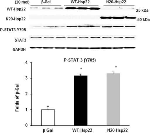 Regulation of gene expression of Hsp22 mutant proteins in cardiac myocytes.Immunoblotting of P-STAT3 (Y705) in myocytes treated with the β-Gal, WT-Hsp22 or N20-Hsp22 adenoviruses (20 moi). * P<0.05 vs β-Gal, n = 6 per group.
