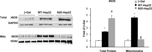Mitochondrial translocation of iNOS by Hsp22.iNOS expression in total cell lysates and mitochondrial fractions from myocytes treated with Ad-WT-Hsp22 or Ad-N20-Hsp22 compared to β-Gal. *, P<0.05 vs β-Gal; #, P<0.05 vs Ad-WT-Hsp22. n = 6 per group.