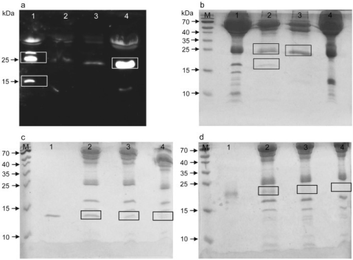 Identification of proteins by mass spectrometry.(a) Western blot of human and caprine serum before (lanes 1, 4) and after (lanes 2, 3) immuno-precipitation with pAb-C. Bands of interest are within white boxes. (b) Coomassie-stained gel with the same samples. After immuno-precipitation, target bands (black boxes) were cut out of the gel and analyzed. (c) Coomassie-stained gel with 500 ng rNG-irisin in PBS (lane 1), 500 ng and 100 ng rNG-irisin added to human serum (lanes 2 and 3) and human serum without addition (lane 4). Serum samples were albumin-depleted prior to electrophoresis. Gel pieces within black boxes were cut out and analyzed. (d) Addition of rG-irisin instead of rNG-irisin. Samples and procedure are as in (c). M: molecular weight marker.