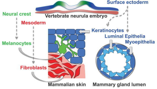 Developmental origins of samplesDevelopmental origins of skin and breast cell types utilized in this study. Embryonic surface ectoderm from the vertebrate neurula stage embryo (blue) gives rise to keratinocytes in the skin and cells of the mammary gland lumen. Embryonic neural crest cells (green) will produce melanocytes that intercalate with epidermal keratinocytes, and skin fibroblasts are derived from embryonic mesoderm (red).