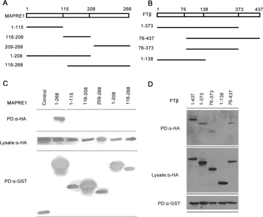 Characterization of the interaction between MAPRE1 and FTβ.(A) Schematic representations of full length (FL) and truncated forms of MAPRE1 were shown. (B) HUVECs were transfected with pCMV-HA-FTβand plasmids that express various truncated forms of MAPRE1 tagged with GST. GST pull-down and Western blot were then performed to characterize the FTβbinding region on MAPRE1. The expressions of the MAPRE1 variants were monitored and comparable amounts of cell lysates were loaded in the pull-down assay (lower panel). (C) Schematic representations of full length (FL) and truncated forms of FTβwere shown. (D) HUVECs were transfected with GST-MAPRE1 and plasmids that express various truncated forms of FTβtagged with HA. GST pull-down (PD) and Western blot were then performed to examine their interaction and characterize the MAPRE1 interacting region on FTβ. The expressions of the FTβvariants were monitored and comparable amounts of cell lysates were loaded in the pull-down assay (middle panel).