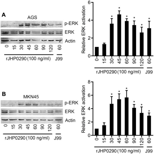 rJHP0290 activates ERK MAPK in gastric epithelial cells.AGS (A) and MKN45 (B) cells were treated with rJHP0290 for various time points (min) as indicated in the figure legends. Cell lysates were prepared and immunoblotted with anti-phospho-ERK antibody followed by reprobing with anti-ERK and anti-actin antibody to confirm equal loading. Blot shown is representative of results obtained in five independent experiments. The graph shows the western blot band intensities normalized to the actin control in five experiments. Statistically significant differences are indicated by * (p < 0.05).
