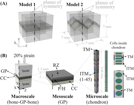Overview of the multiscale modeling approach.(A) Two idealized models were constructed consisting of epiphyseal bone, growth plate (GP) cartilage and metaphyseal bone (about 7 x 7 x 7 mm) with variations of mammillary processes: flat and 'm' shaped. (B) Set-up of the multiscale modeling approach. At the macroscale level, quarter models were used for analysis. About 0.69 mm thick growth plate cartilage was partitioned into two sections to represent the reserve zone (RZ) and the proliferative/hypertrophic (P/H) zone. Calcified cartilage (CC) was also included in the macroscale model. At the mesoscale, three individual layers were generated in the P/H zone to represent the gradient change of elastic modulus through the thickness of the growth plate. The microscale model of the chondron consisted of interterritorial matrix (ITM), territorial matrix (TM) and 46 chondrocytes with gradually changing cellular shape along with the same number of ITM sections. The elastic modulus of ITM increased from the RZ to the metaphyseal side to represent the gradual change of its material properties.
