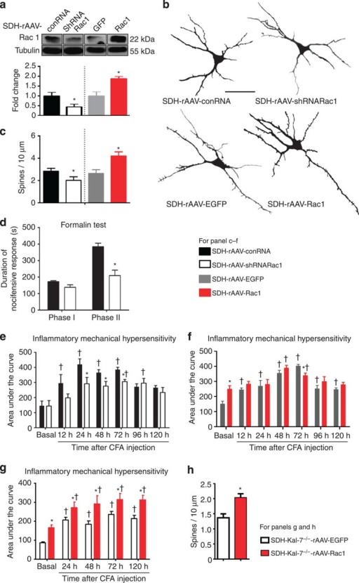 Bidirectional modulation of expression of Rac1 in spinal dorsal horn neurons in vivo and its structural and functional impact.(a) Western blotting of spinal lysates for validation of spinal knockdown and overexpression of Rac1 via AAV-mediated shRNA delivery or Rac1 cDNA delivery in comparison with corresponding controls. Lower panel represents quantitative summary of Rac1 expression normalized to corresponding Tubulin control. (b,c) Typical examples of traces derived from Golgi-impregnated spinal neurons (b) and their quantitative summary (c) in mice with spinal AAV-mediated knockdown or overexpression of Rac1, using mice spinally expressing a non-targeting shRNA or EGFP as controls (Scale bar, 50 μm; 15–18 neurons from three animals per treatment group). (d) Attenuation of phase II nocifensive behaviour, but not of phase I, in the formalin test by spinal knockdown of Rac1 (n=7–8 per group). (e) Spinal neuron-specific knockdown of Rac1 led to a reduction of mechanical hypersensitivity induced by intraplantar CFA injection as compared with mice expressing control RNA (n=6 per group). (f) Overexpression of Rac1 in neurons of the spinal dorsal horn led to enhanced basal sensitivity to mechanical nociceptive stimuli (n=6–8 mice). (g) Functional impact of overexpression of Rac1 or EGFP (control) in the spinal dorsal horn of SDH-Kal-7−/− mice on sensitivity to mechanical nociceptive stimuli and CFA-induced hypersensitivity (n=6 mice per group). (h) Quantification of changes in spine density on overexpression of Rac1 or EGFP in spinal neurons lacking Kal-7 at 24 h post-CFA (25–30 neurons were analysed from from animals each per treatment group). *P<0.05 as compared with control group; †P<0.05 as compared with basal condition; two-way ANOVA, Bonferroni post hoc test. Error bars represent s.e.m.