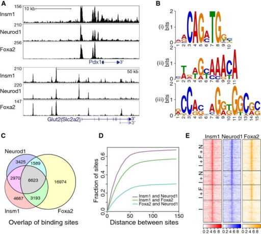 Insm1 binds chromatin sites that are co-occupied by Neurod1 and Foxa2Insm1, Neurod1 and Foxa2 ChIP-seq binding tracks identified in chromatin from SJ β-cells for Pdx1 and Glut2 (Slc2a2).De novo motif analysis of Insm1 peaks identified consensus binding sequences of basic helix-loop-helix and forkhead factors (i and ii); in addition, an Insm1 motif (iii) identified in 'Insm1 only' sites that resembles the known Insm1 binding sequence is shown.Overlap between Insm1, Neurod1 and Foxa2 binding sites.Distance between the summits of Insm1 and Neurod1 (violet), Insm1 and Foxa2 (green) as well as Foxa2 and Neurod1 (light blue) peaks; displayed are the fraction of peaks versus the distance between binding sites in base pairs.Heat map showing read tracks for Insm1, Neurod1 and Foxa2 at sites co-occupied by Insm1/Neurod1/Foxa2 (I+F+N; top), Insm1/Neurod1 and Insm1/Foxa2 (I+N and I+F; middle), or at sites bound by Insm1 only (I; bottom). The color code indicates read density ±2 kb around binding sites as log2 of the number of reads.