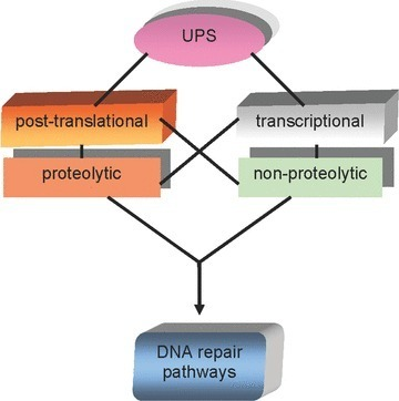 Modes of UPS involvement in regulation of DNA repair. *Abbreviations: O6meG, O6-methylated guanine; MGMT, O6-methylguanine-DNA methyltransferase; DR, direct repair; hMSH2, human MutS homologue 2; hMSH6, human MutS homologue 6; hMLH1, human MutL homologue 1; hPMS2, human post-meiotic segregation increased 2 protein; MMR, mismatch-repair; NEDD8, neural precursor cell expressed, developmentally down-regulated 8; EXO I, human exonuclease 1; SSBs, single-strand breaks; DSBs, double-strand breaks; TDG, thymine-DNA glycosylase; APE, apurinic endonuclease; Lig 3, DNA-ligase 3; FEN1, flap structure-specific endonuclease 1; BER, base-excision repair; NER, nucleotide-excision repair; GGR, global genomic repair; TCR, transcription-coupled repair; CSN, COP9 signalosome; SUMO, small ubiquitin-like modifier; UNG2, uracil-DNA glycosylase 2; PARP-1, poly-ADP-ribose polymerase; XRCC1, X-ray repair complementing defective repair in Chinese hamster cells 1; XPC, Xeroderma pigmentosum complementation group C; HR23, homologue of Rad23; DDB1, damage-specific DNA binding protein 1; DDB2, damage-specific DNA binding protein 2; NEDD8, neural precursor cell expressed developmentally down-regulated 8; XPG, Xeroderma pigmentosum complementation group G; XPF, Xeroderma pigmentosum complementation group F; ERCC1, excision repair cross-complementing rodent repair deficiency complementation group 1; Lig 1, DNA-ligase 1; HR, homologous recombination; NHEJ, non-homologous end joining; XRCC4, X-ray repair complementing defective repair in Chinese hamster cells 4; Lig 4, DNA-ligase 4; DNA-PKcs, DNA-dependent protein kinase catalytic subunit; PCNA, proliferating cell nuclear antigen protein; DSBR, double-strand break repair; MRN, Mre11-Rad50-Nbs1 complex; RPA, replication protein A; BRCA 1,2, breast cancer 1,2 genes; XRCC2, X-ray repair complementing defective repair in Chinese hamster cells 2; XRCC3; X-ray repair complementing defective repair in Chinese hamster cells 3; XRCC4, X-ray repair complementing defective repair in Chinese hamster cells 4; PRR, post-replication repair; TLS, translesion DNA synthesis; Pol η, DNA polymerase η; Pol ζ, DNA polymerase ζ; Pol γ, ɛ, DNA polymerases γ, ɛ; FANCC, Fanconi anaemia, complementation group C; FANCD2, Fanconi anaemia complementation group D2; FANCI, Fanconi anaemia complementation group I.