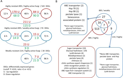 The characteristics of 584 DEGs in dynamic transcriptome analysis suggested intense rivalry in the highly resistant 895/highly active fungus group.(A) The differentially expressed fungal genes between different time points in three groups. (B) The overlapping and specific DEGs among the three groups. The numbers in the brackets represent the number of DEGs belonging to the annotation.