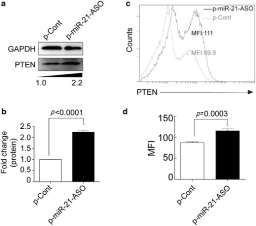MiRNA-21 ASO reversed PTEN expression in human colon carcinoma cells. Human colon carcinoma cell line HCT116 cells were transiently transfected with p-miR-21-ASO or p-Cont (5 μg). 48 h later, the protein expression of PTEN was analyzed by Western blotting (a) and calculated (b). c The expression of PTEN also analyzed by FACS and then the mean fluorescence intensity (MFI) was calculated (d). Gray line p-Cont transfected group, black line p-miR-21-ASO transfected group. One representative of three experiments was shown. *p < 0.05.
